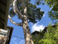 Eucalyptus Tree in backyard.JPG
