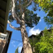 Eucalyptus Tree in backyard.JPG