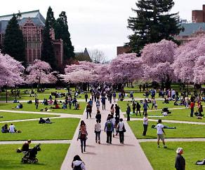 Cherry blossoms at University of Washington, Decibel